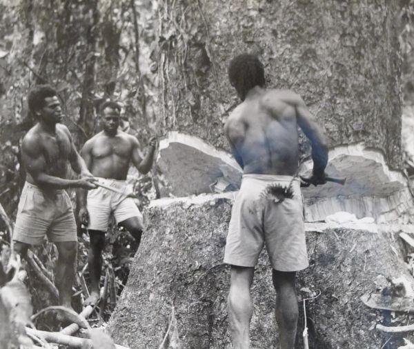 Tree felling, San Cristoval, c.1930s. University of Melbourne Archives, Kauri Timber company, 1966.0012 unit 33